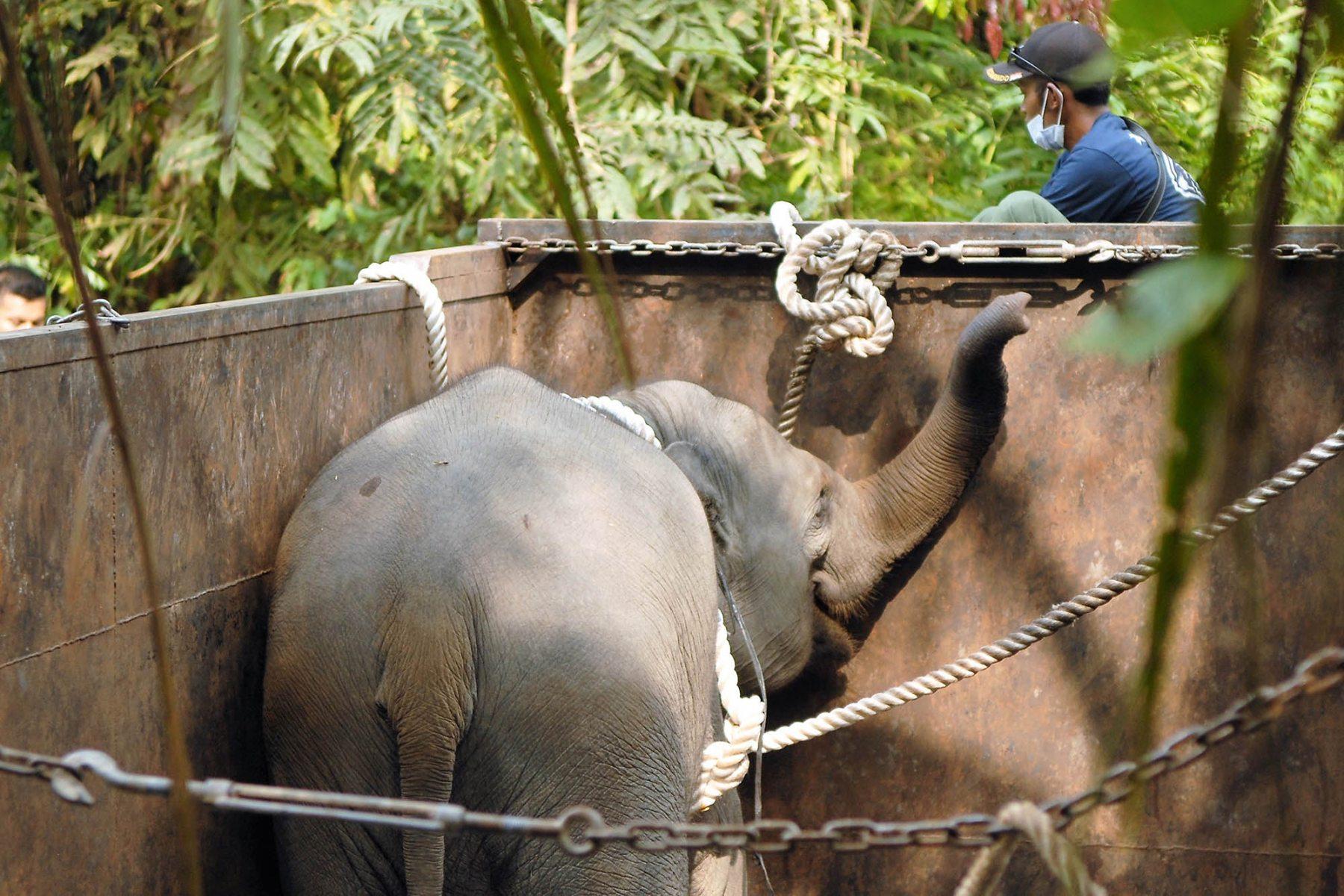 1_Rana-OktoberEvakuasi Bayi Gajah Sumatera