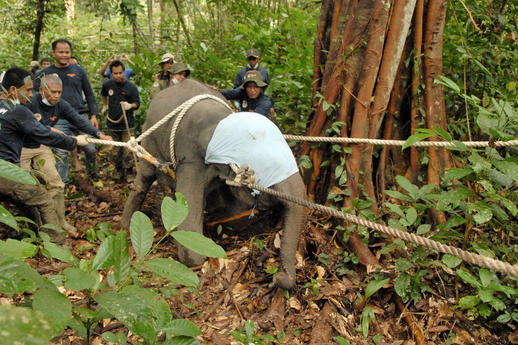Evakuasi Bayi Gajah Sumatera