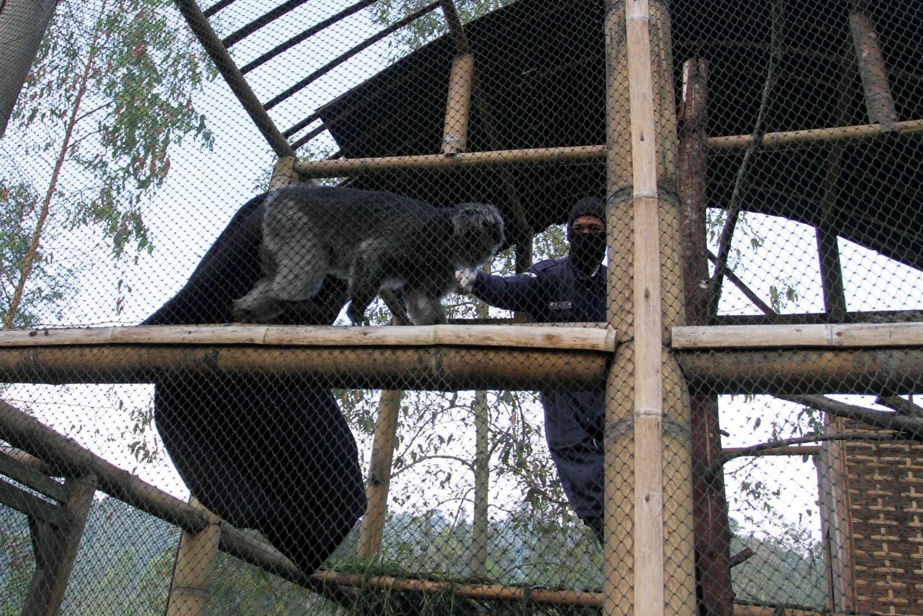 Perawat hewan mencoba menangkap satwa lutung jawa menggunakan jaring di dalam kandang sosialisasi Javan Langur Center, Coban Talun, Batu, Jawa Timur. TEMPO/STR/Aris Novia Hidayat